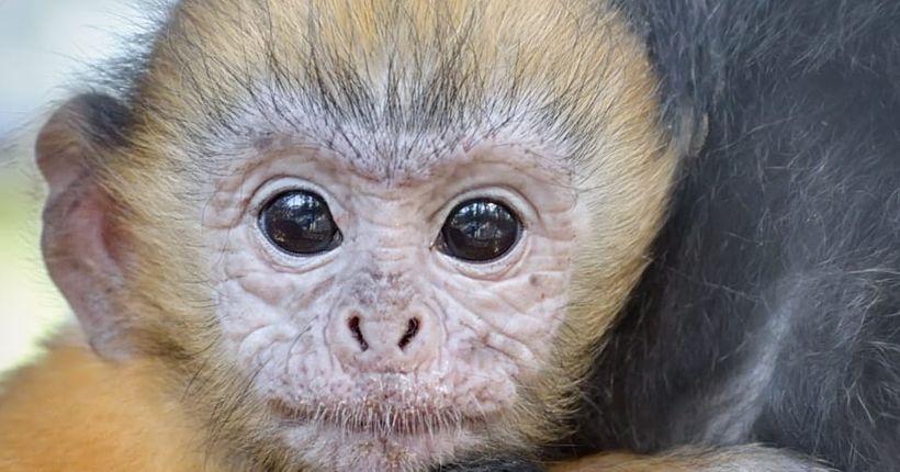 Оранжевого малыша родила обезьянка в Новосибирском зоопарке