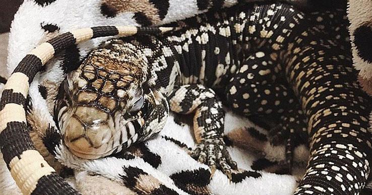 Новосибирская пара содержит домашнего дракончика Диего, похожего на кошку