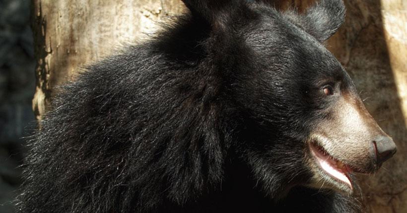 В Новосибирском зоопарке медведи исчезнут на несколько месяцев из поля зрения посетителей