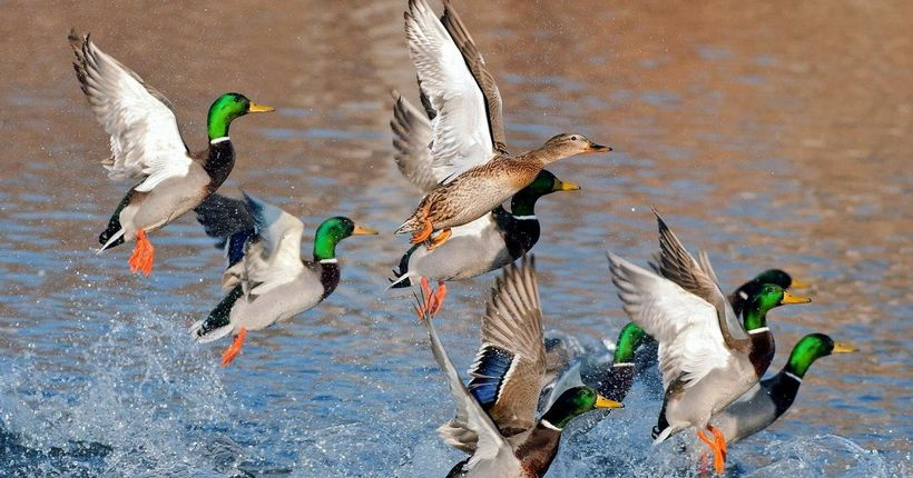 В Новосибирской области стало в полтора раза больше водоплавающих птиц