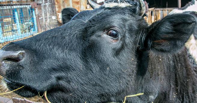 Новосибирская область полностью обеспечивает себя молоком, птицей и свининой