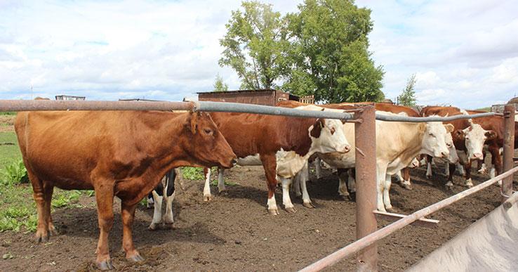 Жителей Новосибирска пригласили посмотреть на поля и коров, пройтись с коромыслом и поесть творога в деревне