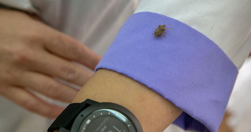 Новосибирские учёные-аграрии готовят «супероружие» для борьбы с колорадским жуком