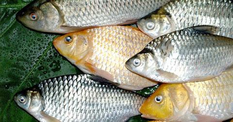 Рыбохозяйства Новосибирской области планируют добыть 1 500 тонн рыбы