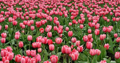На Михайловской набережной в Новосибирске высадят 56 тысяч тюльпанов