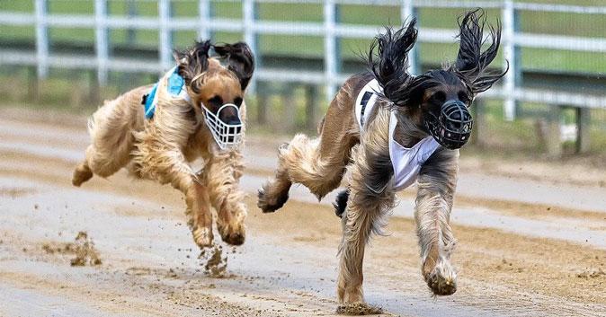 Бег за механическим зайцем: жителей Новосибирска приглашают на собачье дерби