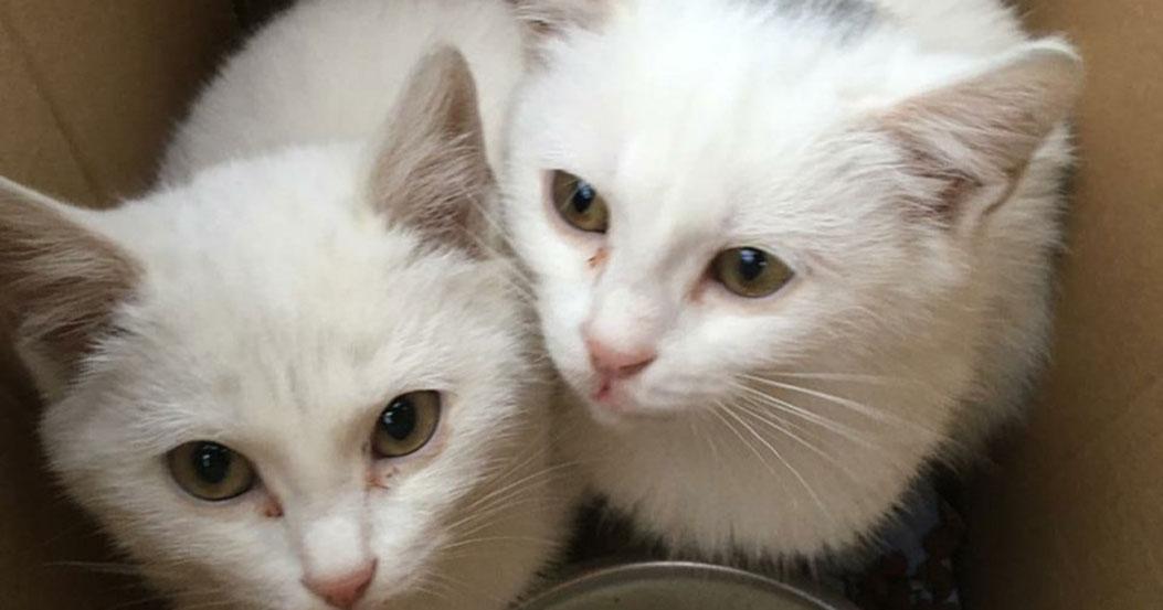 Под Новосибирском люди выбросили в коробке двух подросших белых кошечек