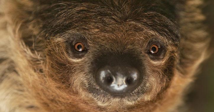 Международный день застенчивых ленивцев отметили в Новосибирском зоопарке