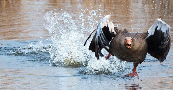 В Советском районе Новосибирска по горячим следам раскрыли похищение гуся