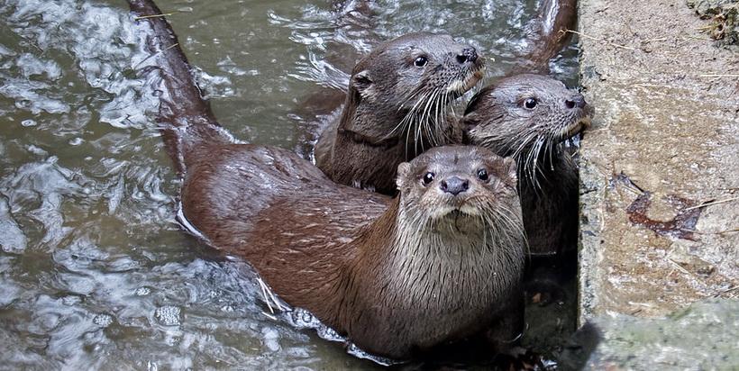 В Новосибирском зоопарке подрастают детёныши-выдрята