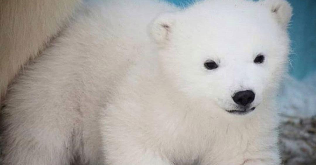 Новосибирская медведица Шилка родила двойню в японском зоопарке