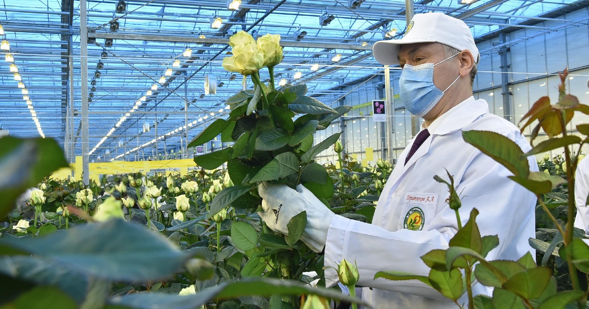 Под Новосибирском во время зимы расцвели голландские розы