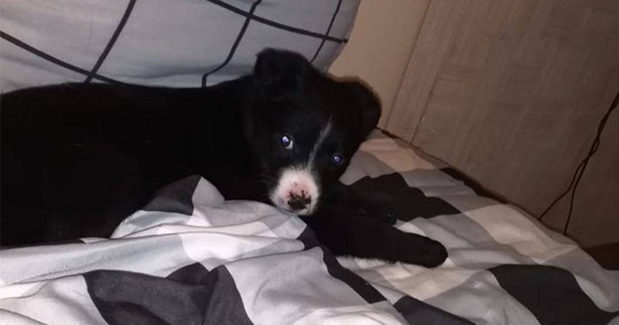 В Новосибирске щенка Мартина у зоозащитников «в добрые руки» забрал догхантер