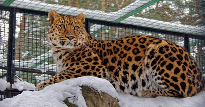Новосибирский зоопарк рассказал об уникальных рисунках на шкурах дальневосточных леопардов