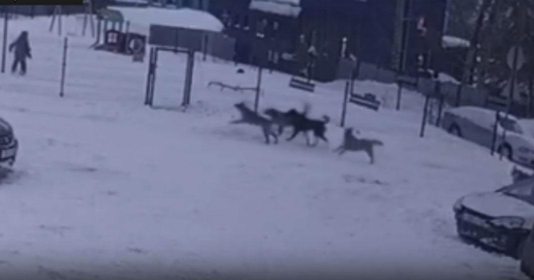 В Новосибирске ребёнок чудом сумел спастись от стаи собак, сумев скрыться за высоким забором
