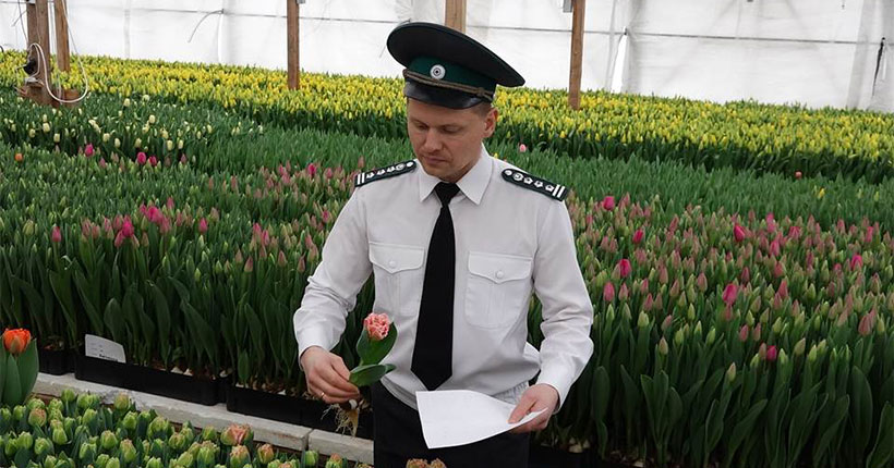Тюльпаны, произрастающие в Новосибирске, проверили на фитосанитарную безопасность