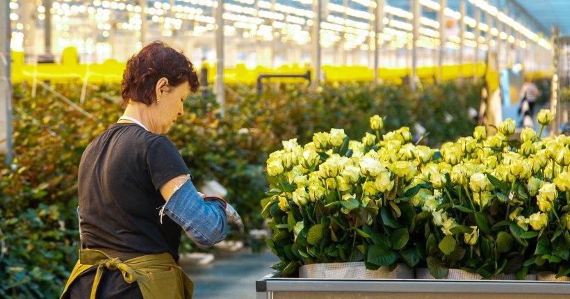 Два миллиона новосибирских роз  поступят к 8 марта в магазины города