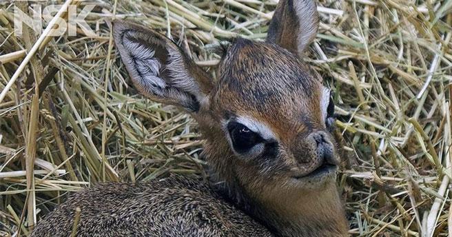 Новосибирский зоопарк представил малышей крошечных антилоп