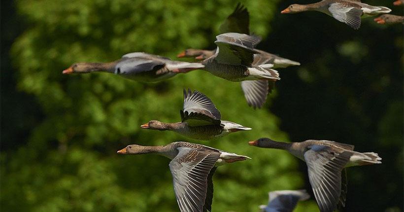 Перелётные птицы могут занести на территорию Новосибирской области опасные болезни