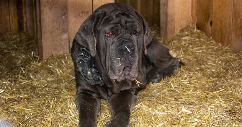 Грустная история мастифа: почему на железнодорожном вокзале Новосибирска бросили огромную собаку