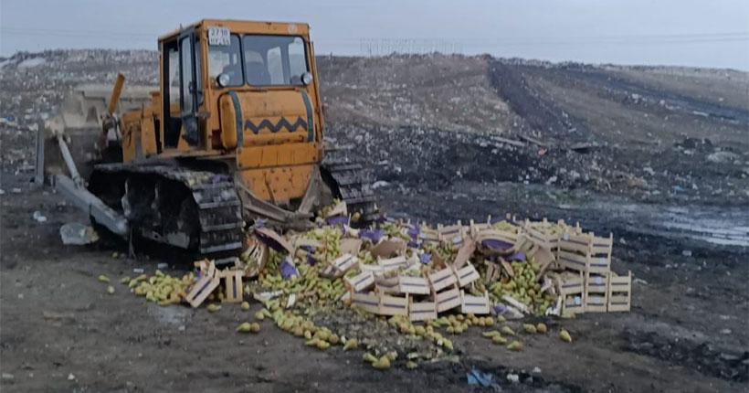 Новосибирцам рассказали, почему более двух тысяч тонн груш было пущено под бульдозер