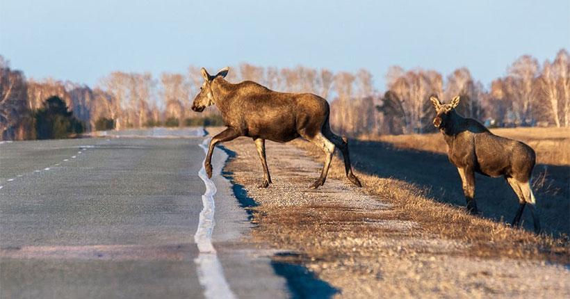 Житель Новосибирской области сделал фотографии лосихи с лосёнком на дороге