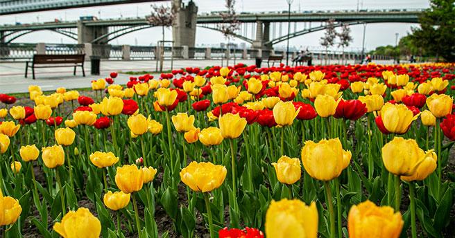 Новосибирцев пригласили на грандиозный фестиваль тюльпанов