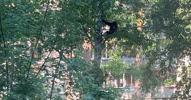 Новосибирцев удивила и позабавила прыгающая по берёзам обезьяна