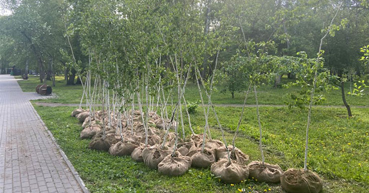 В новосибирском парке 1 июня высадили берёзы-долгожители