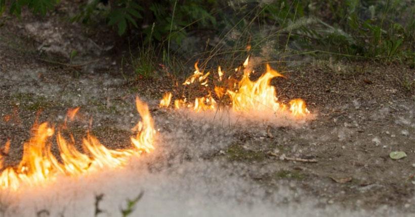Кто поджигает тополиный пух во дворах и на улицах Новосибирска