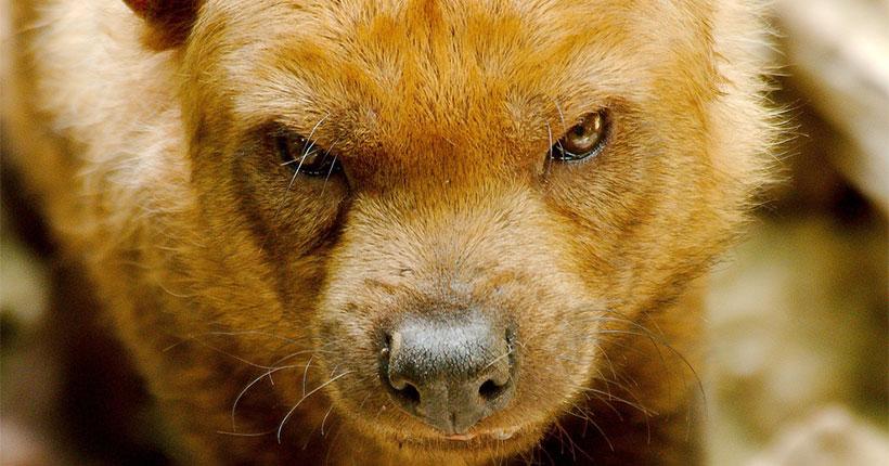 В новосибирский зоопарк доставили редкую кустарниковую собаку