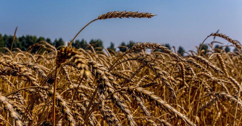 В Новосибирской области не допущена гибель посевов зерновых культур