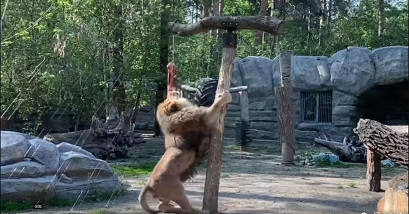 Известный российский телеведущий назвал новосибирского льва «кун-фуистом»