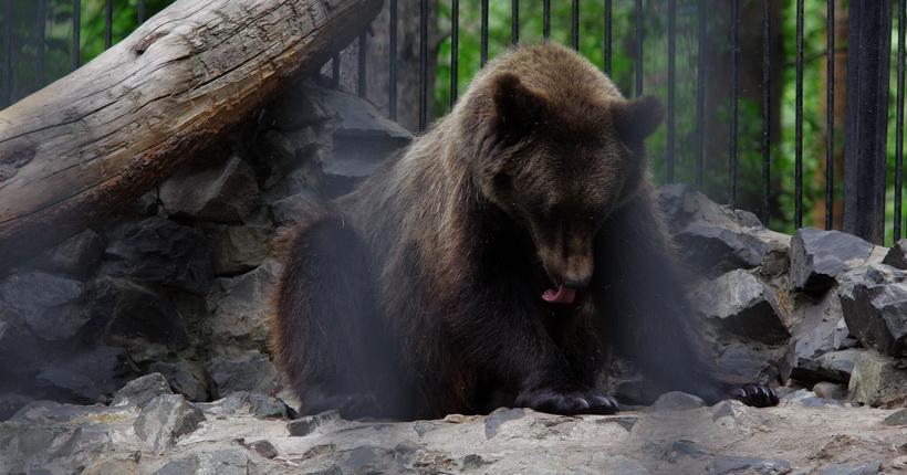 Новосибирских медведей скоро выпустят в естественную среду