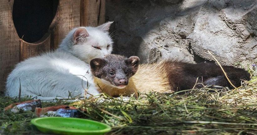 Домашняя кошка выкармливает харзят-отказников из Новосибирского зоопарка