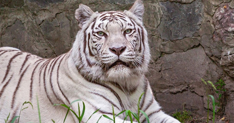 Бенгальская тигрица помогла в воспитании новосибирского мальчика